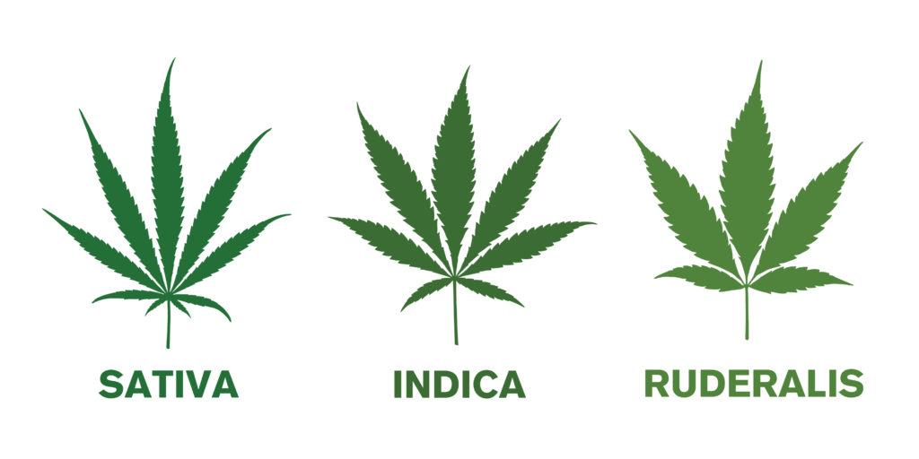 Sativa vs Ruderalis vs Indica
